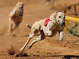 A greyhound wearing a muzzle and racing round a dirt track, with another dog visible in the background