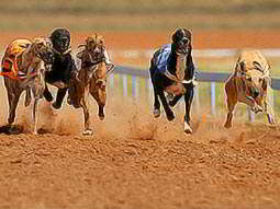 Five greyhounds racing on the sand