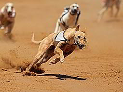 Three greyhounds racing, kicking the sand up as they go