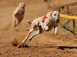 Six greyhounds racing around a corner on a sandy track