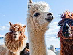Three llamas against a backdrop of a blue sky