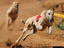Two greyhounds running around a track