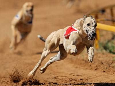 A greyhound running with a muzzle on its mouth