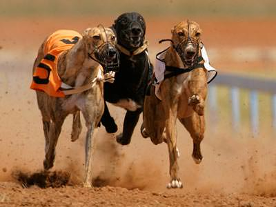 Some greyhounds running on a sandy track