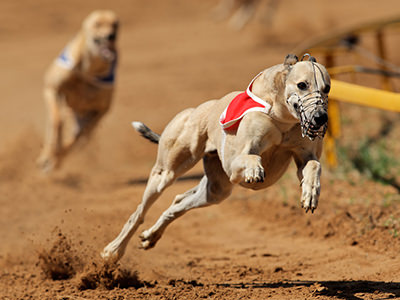 Two greyhounds racing around the track