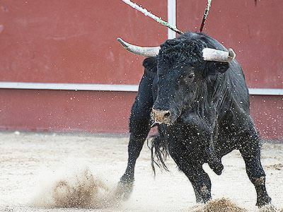 A black bull running