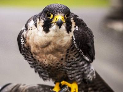 A bird of prey looking into the camera