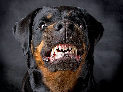An angry looking Rottweiler