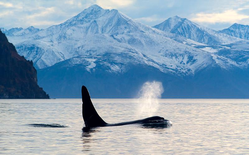 A whale in the water to a backdrop of snow covered mountains