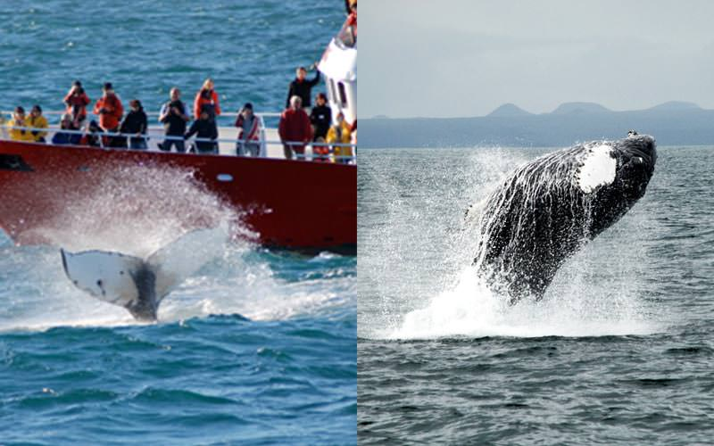 Split image of a boat full of people whale watching, and a whale jumping out of the sea