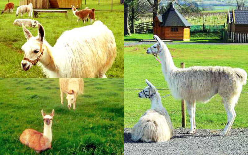 Three tiled images of llamas in fields