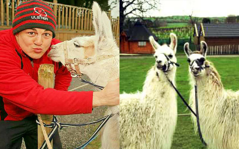 A split image of a man pouting with a llama and of two llamas in a field