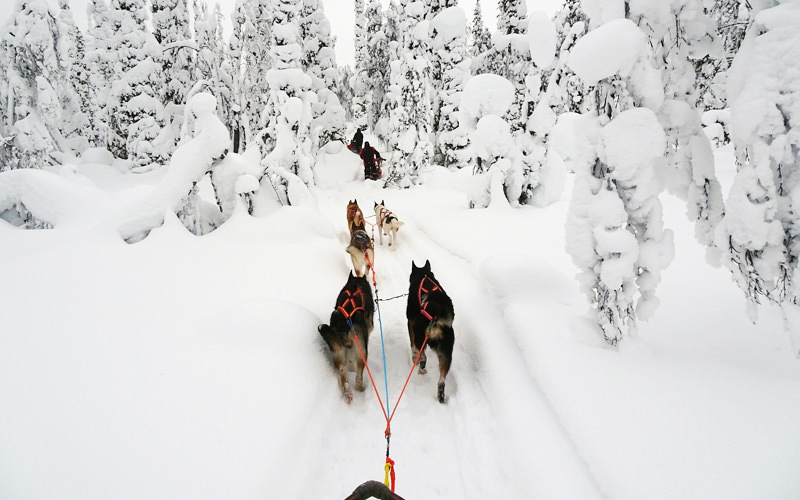 A view from behind of husky dogs pulling along a vehicle in the snow