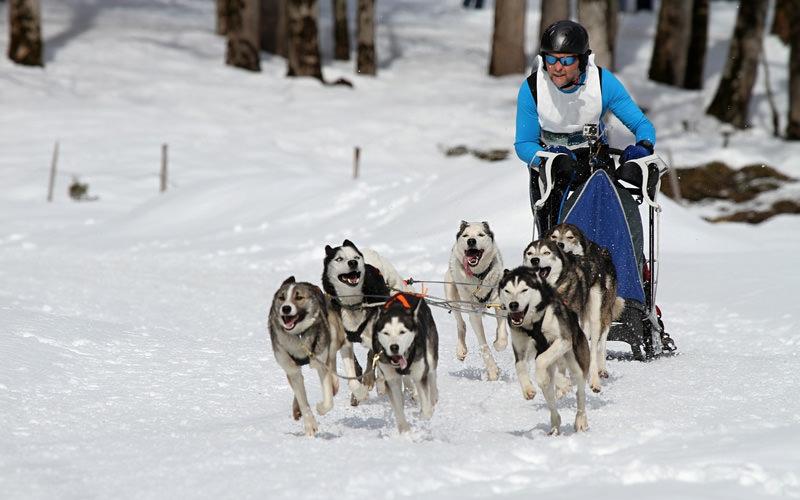 A group of husky dogs pulling along a man