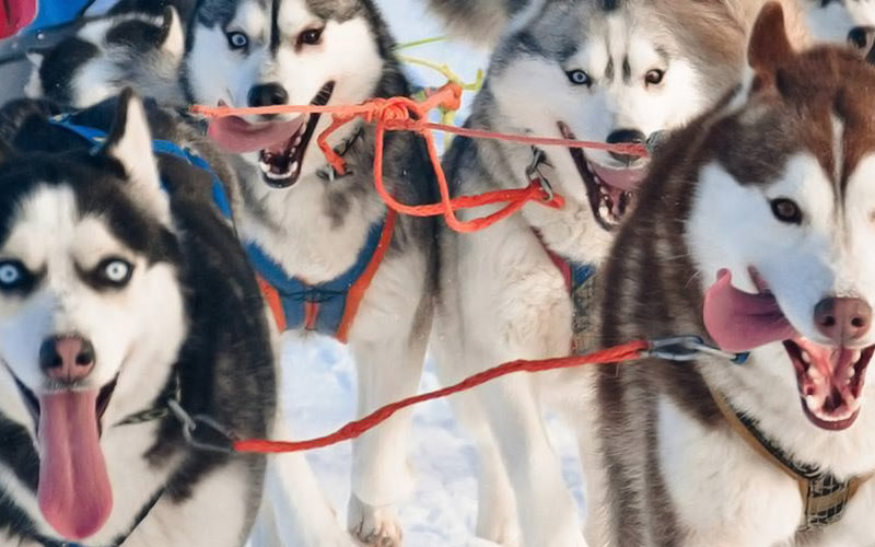 Husky dogs on leads