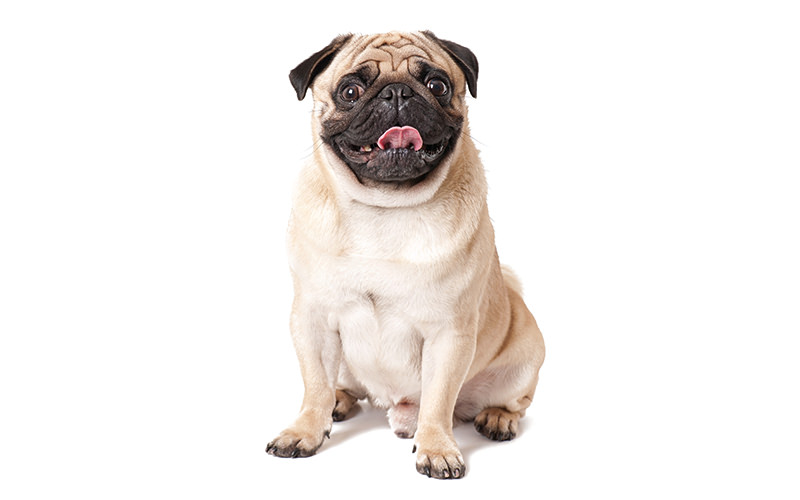 A picture of a pug sitting down, looking happy and cute.