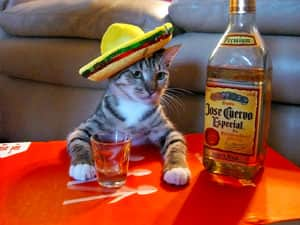 Cat with paws on orange table wearing a sombrero, with bottle of tequila and shot glass on the table