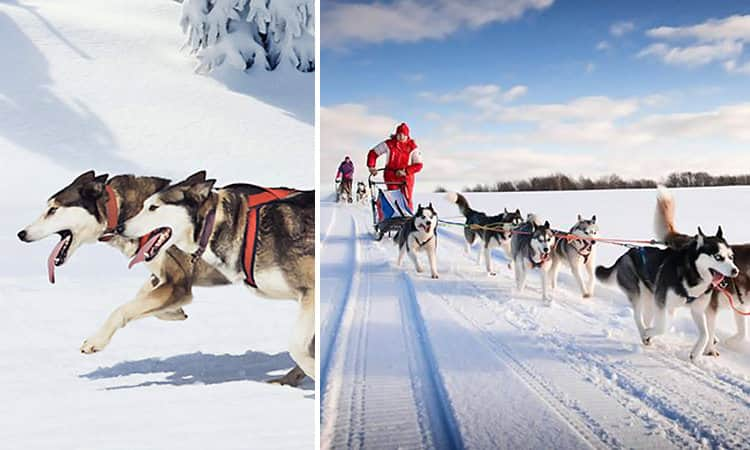 Two tiled images of huskies running in the snow
